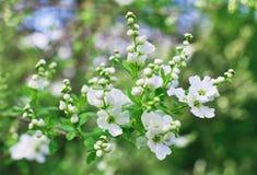 Bunch of white exochorda tianshanica flower Stock Images