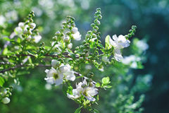 Bunch of white exochorda tianshanica flower Royalty Free Stock Photography