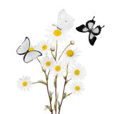 Bunch of white fine chamomile flowers and butterflies Royalty Free Stock Image