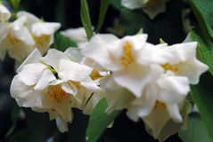Bunch of white flower exochorda. Stock Image