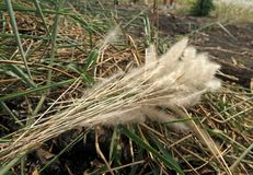 Bunch of White flower and green leaves of Thatch grass on soil 9n the field Royalty Free Stock Photo