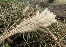 Bunch of White flower and green leaves of Thatch grass on soil 9n the field Royalty Free Stock Images