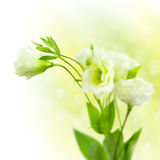 Bunch of white Flowers  with Buds on defocused background Stock Photography