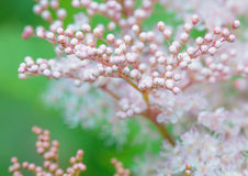 Bunch white flowers in buds. Bunch white flowers in the morning sun Royalty Free Stock Images