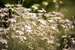 Delicate white flowers growing in a meadow stock images