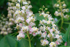 Bunch of white flowers of the horse-chestnut tree Royalty Free Stock Photos