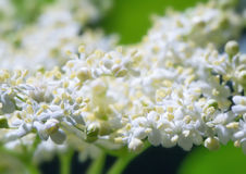 Bunch white flowers Royalty Free Stock Images