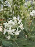 A bunch of White Giant calotrope Flower with Leaves stock photos
