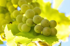 Bunch of white grape with leafs and blue sky on background royalty free stock photos