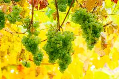 Bunch of white grape vine hanging on a brunch. Lovely harvest time background royalty free stock photos