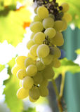 Bunch Of White Grape In The Vineyard Stock Photography
