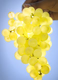 Bunch of white grapes Royalty Free Stock Image