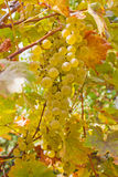 Bunch of white grapes Royalty Free Stock Images