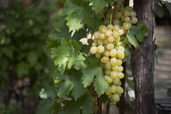 Bunch of white grapes. Hanging on the vine, green vine leaves stock photos