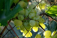 A bunch of white grapes on a branch. stock photos