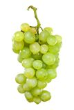 Bunch of white grapes with drops of water Stock Image