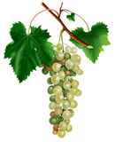 Bunch of white grapes Stock Photos