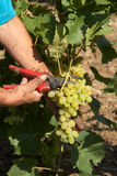 Bunch of white grapes in the hands with pruner Stock Image