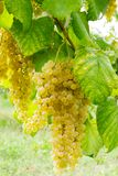 Bunch of white grapes. Italian vineyard ripe white grapes royalty free stock images
