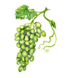 Bunch of white grapes with leaf. Hand painted watercolor illustration, bunch of white grapes with leaf Royalty Free Stock Photo