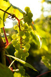 Bunch of white grapes in the setting sun. Stock Photo