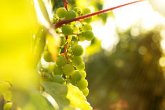 Bunch of white grapes in the setting sun. Royalty Free Stock Photo
