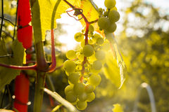 Bunch of white grapes in the setting sun. Royalty Free Stock Photos