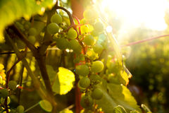 Bunch of white grapes in the setting sun. Royalty Free Stock Images