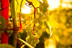 Bunch of white grapes in the setting sun. Royalty Free Stock Photography