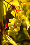 Bunch of white grapes in the setting sun. Stock Photos