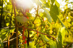 Bunch of white grapes in the setting sun. Stock Image
