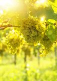 Bunch of white grapes. On the vine stock photo