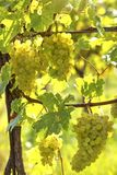 Bunch of white grapes. On the vine stock photos