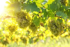 Bunch of white grapes. On the vine royalty free stock photos