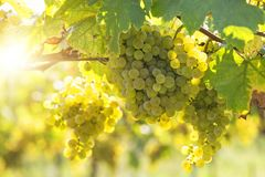 Bunch of white grapes. On the vine royalty free stock photography