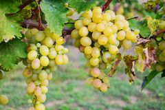 Bunch of grapes. Bunch of white grapes in vineyard Royalty Free Stock Images