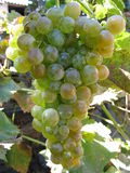 Bunch. Of white grapes in a vineyard in Sardinia Stock Photos