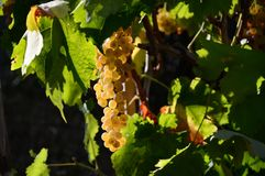 Bunch of white grapes on vineyards in Tuscany. Italy stock photo