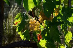 Bunch of white grapes on vineyards in Tuscany. Italy stock photography