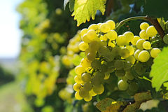 Bunch of white grapes on vineyeard Royalty Free Stock Images