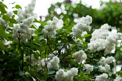 Bunch of white lilac flower Royalty Free Stock Photo