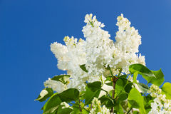 Bunch of white lilac flower Royalty Free Stock Image