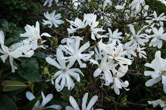 A bunch of white Magnolia. White magnolia stellata in the afternoon Stock Photo