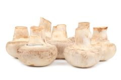 Bunch of white mushrooms close up. Royalty Free Stock Photography