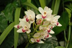 Bunch of white orchids Royalty Free Stock Photo
