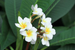 Bunch of white plumeria flower on green background Royalty Free Stock Photo