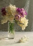 Bunch of white and purple freesias on a white background. Shooting through wet glass. Drops, impressionism. A bunch of white and purple freesias on a white stock image