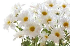 Bunch of white small chrysanthemum Royalty Free Stock Photos