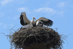 Bunch of white storks Royalty Free Stock Photo
