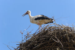 Bunch of white storks Royalty Free Stock Image
